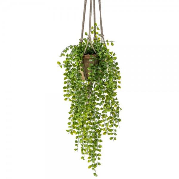 Ficus pumila-Hängeampel, 80 cm